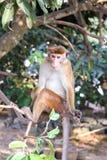 在分行的猴子 库存照片