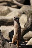 在分行的Meerkat 库存图片