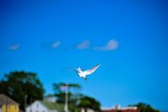 在切塞皮克湾的潜水海鸟 库存照片