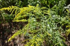 在列阵安排的一枝黄花canadensis Flowerheads 免版税库存照片