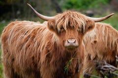 在刘易斯和哈里斯小岛的山母牛在苏格兰 库存照片
