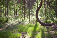 在创造阴影的沼泽和阳光的弯曲的杉树 库存照片