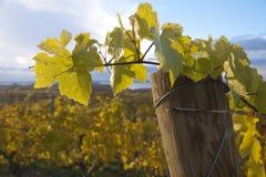 在利益的葡萄树叶子 库存图片