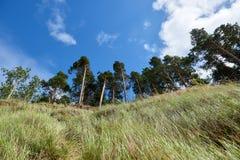 在利耶帕亚,拉脱维亚附近的波罗的海海岸线 与杉树的沙丘 古典波儿地克的海滩风景 松鸡爱本质歌曲通配木头 图库摄影