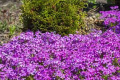 在别墅福禄考subulate的开花的灌木 库存图片