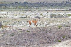 在别德马湖附近的骆马之类喇嘛guanicoe巴塔哥尼亚的,阿根廷 免版税库存照片