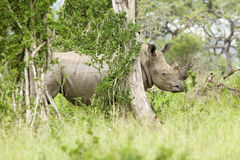 在刷子后的白色犀牛在Umfolozi比赛储备,南非,在1897年建立 免版税图库摄影