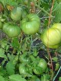 在刷子收集的绿色未成熟的蕃茄 库存图片