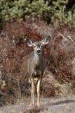 在刷子的一头鹿 免版税库存照片