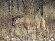 在刷子的母鹿 免版税库存照片