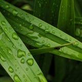 在刷新的叶子的雨珠 免版税库存照片