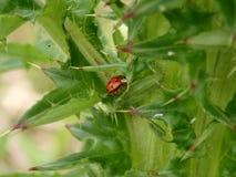 在刺灌木的瓢虫 免版税库存图片