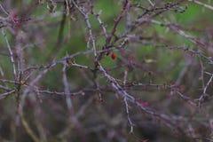 在刺的红色莓果 免版税图库摄影