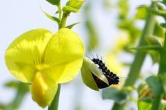 在刻痕笤帚芽的一条黑白毛虫 库存图片