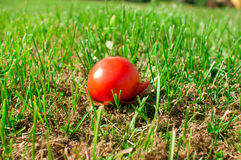 在前成熟蕃茄视图之上 库存图片