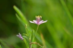 在前景的一朵美丽的小的淡紫色花与反对象草的地面绿色背景的长的雄芯花蕊  免版税库存照片