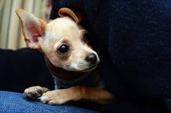 在前景的可爱的奇瓦瓦狗小狗 库存照片