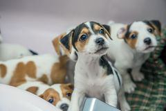 在前景的可爱的小猎犬小狗 免版税库存照片