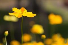 在前景的唯一黄色波斯菊 库存照片