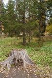 在前景的大灰色树桩和绿色落叶松属在秋天停放 库存照片