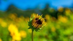 在前景的开花的黄色向日葵 库存照片