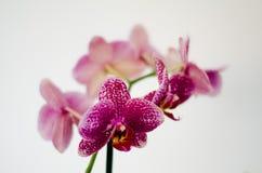 在前景的紫色兰花 库存照片