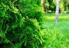 在前景的绿色刺柏树丛 库存图片