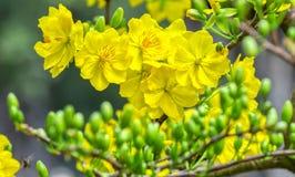 在前景里面的杏子花开花的芽 免版税库存图片