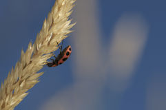 在前棵几年草的瓢虫 库存图片