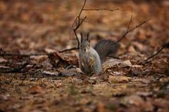 在前面地鼠的灰鼠 库存照片