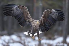 在前面的在飞行中白被盯梢的老鹰爪 免版税库存图片