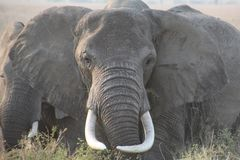 在前面的大象与大象牙 库存图片