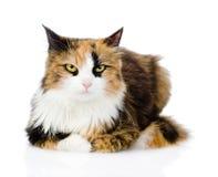 在前面的杂色猫 背景查出的白色 图库摄影