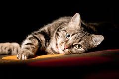 在前面的美丽的欧洲猫在黑色 库存照片