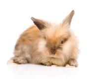 在前面的逗人喜爱的兔子 背景查出的白色 免版税库存照片