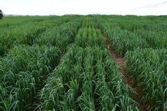 在剧情划分的燕麦种植园 库存照片