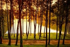 在剧痛Ung杉木森林公园自然场面的早晨 库存照片