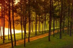 在剧痛Ung,夜丰颂的杉树 库存照片