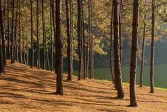 在剧痛ung,杉木森林的太阳上升 库存图片