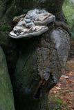 在剪切结构树的真菌 图库摄影