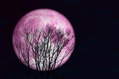 在剪影树的超级充分的桃红色月亮后面在黑暗的天空的黑暗 免版税库存图片