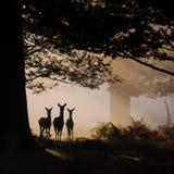 在剪影的三头鹿 免版税库存照片