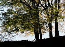 在剪影的大山毛榉树与被突出的秋叶 免版税库存照片