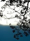 在剪影的桃红色喇叭树在日落 免版税库存照片