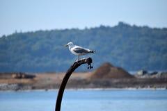 在力大无比的船坞的海鸥 库存图片