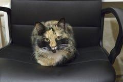 在办公室椅子的杂色猫 库存照片