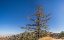 在加利福尼亚小山上的孤立杉木 库存图片