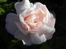 在加利福尼亚庭院floribunda品种的玫瑰 免版税库存照片