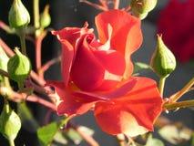 在加利福尼亚庭院floribunda品种的玫瑰 免版税库存图片