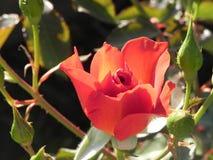 在加利福尼亚庭院floribunda品种的玫瑰 库存照片